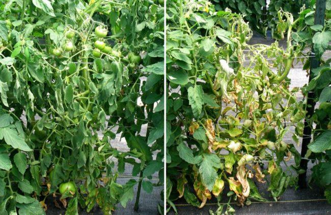 Развитие некроза на кусте помидоры – фото в начале заболевания и на стадии засыхания листьев
