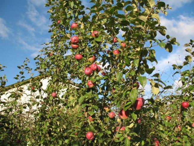 Высокие ветки гибридной яблони популярного сорта Лобо с плодами красноватого оттенка