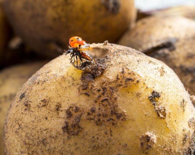 Божью коровка на поврежденной кожице молодого клубня картофеля