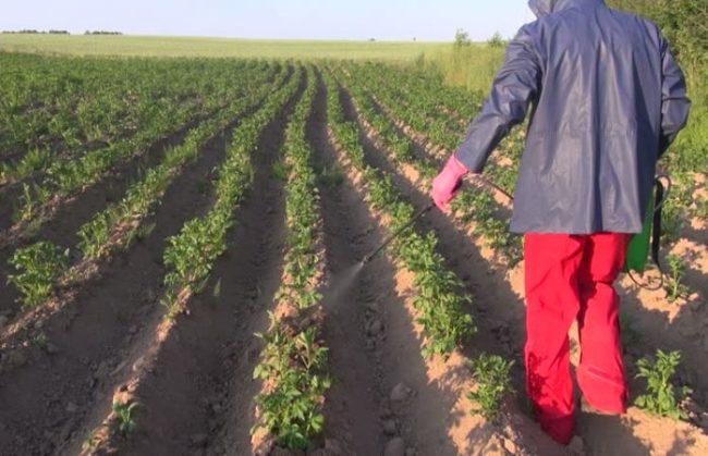 Опрыскивание ботвы молодого картофеля водным раствором мочевины