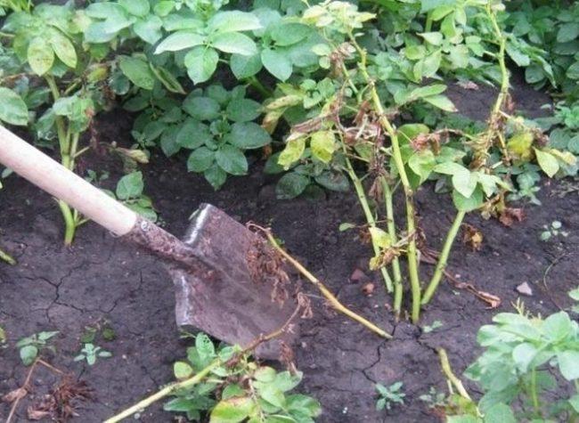 Выкапывание лопатой больного куста картошки на фермерском поле