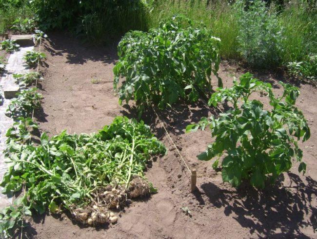 Выкопанный куст картофеля с мелкими клубнями и больной ботвой