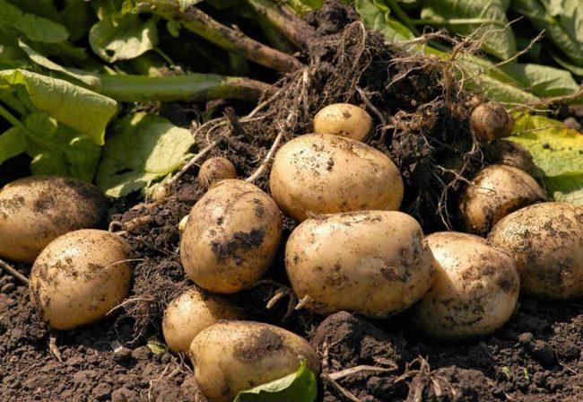 Хорошая картошка без гнили, выкопанная на садовом участке