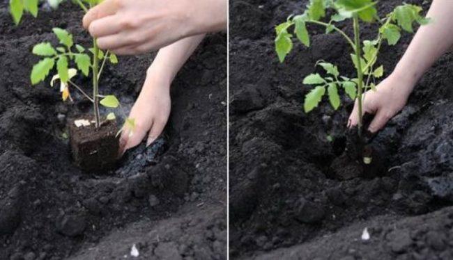 Высадка сеянцев помидоры сорта Черри в открытый грунт