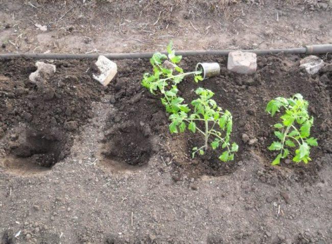 Пересадка рассады помидоры в открытый грунт в конце мая