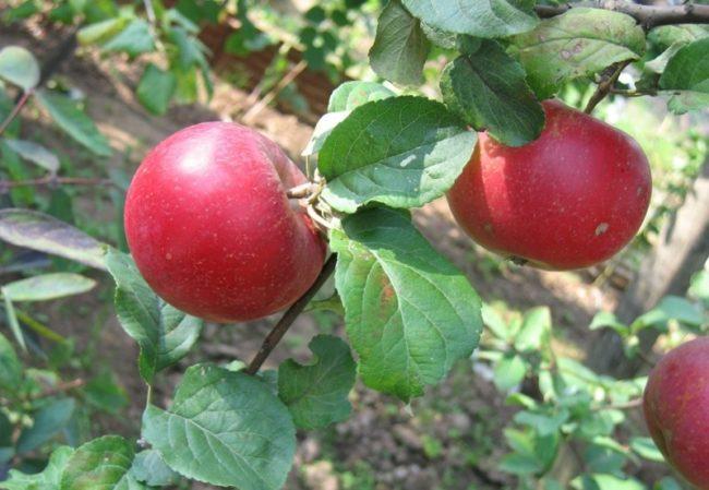 Ветка яблони сорта Краса Свердловска с двумя красными плодами
