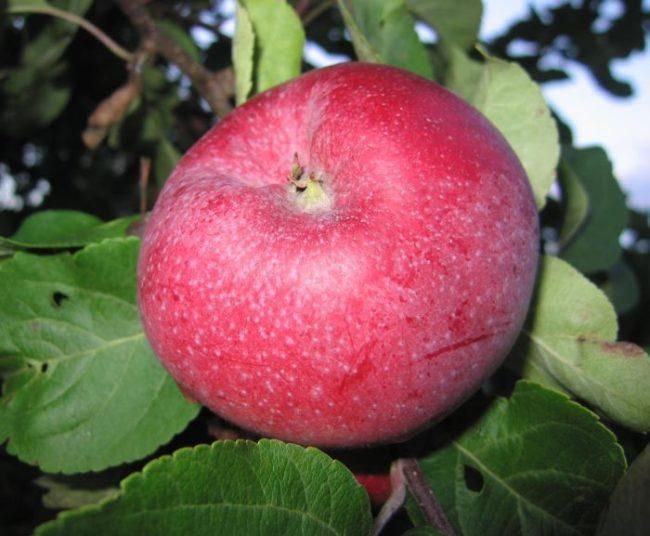 Большое яблоко сорта Лобо темно-бардового окраса крупным планом