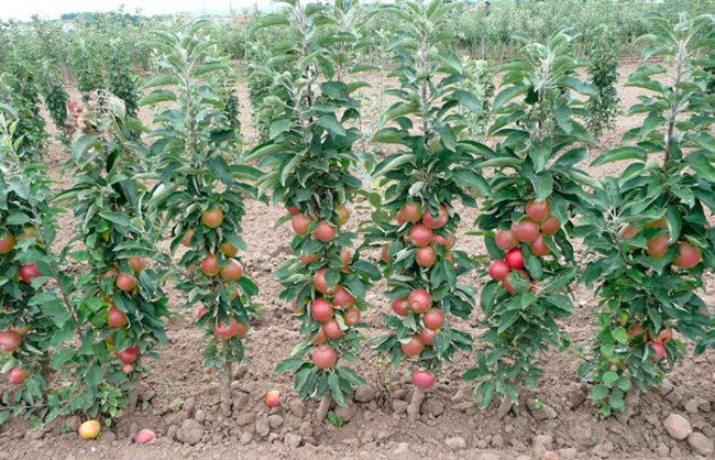 Ряд посадок колоновидных яблонь в период плодоношения