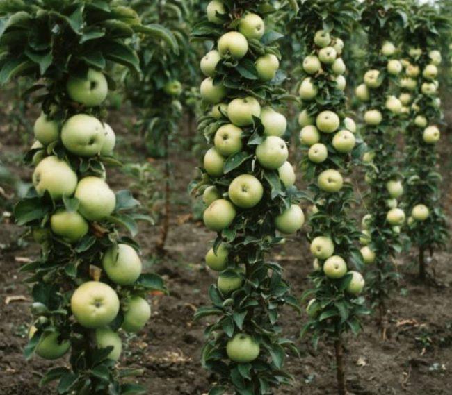 Плодоношение колоновидных яблонь сорта Малюха