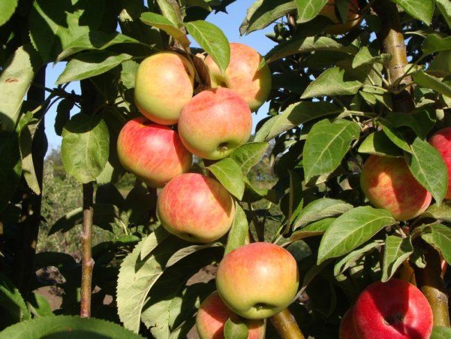 Желто-красные плоды на колоновидной яблоне сорта Червонец