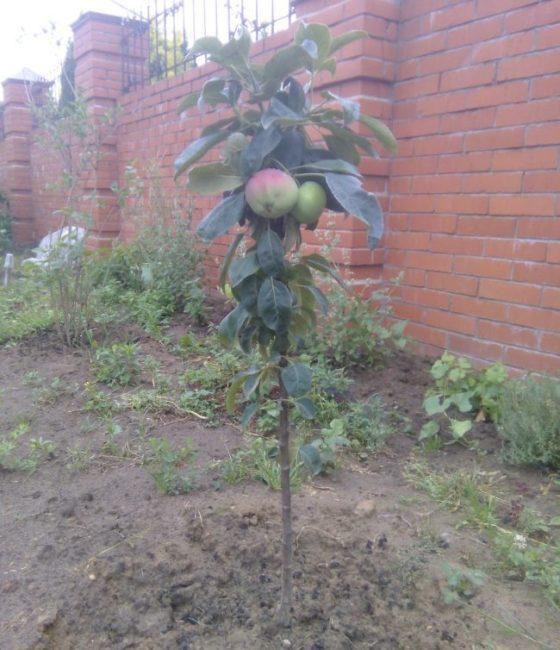 Первое плодоношение колоновидной яблони на садовом участке