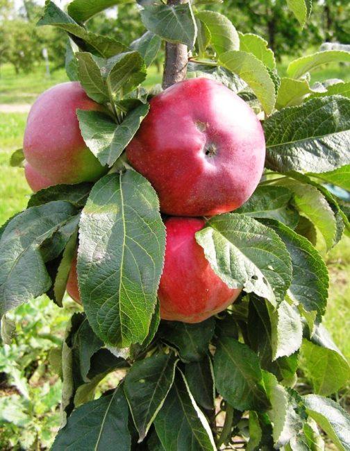 Спелые плоды красного цвета на стволе колоновидной яблони сорта Останкино