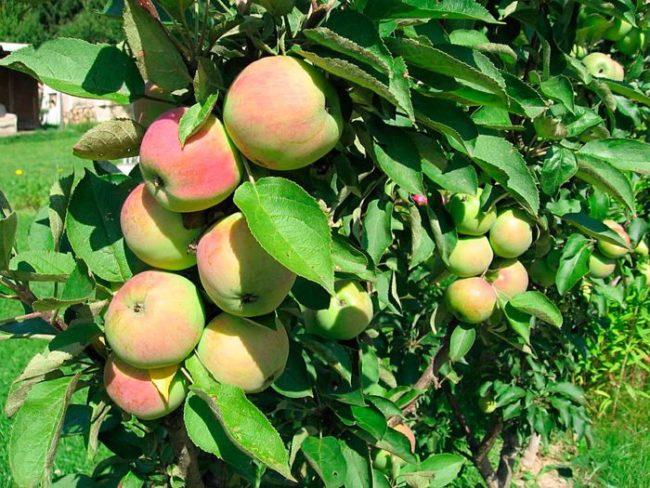 Ствол с плодами колоновидной яблони гибридного сорта Президент