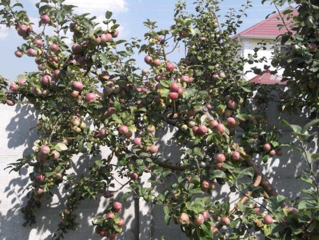 Взрослое дерево яблони сорта Лобо около бетонного забора