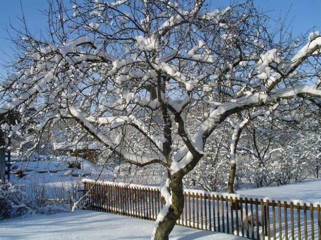 Снег на ветках взрослого дерева яблони в середине зимы