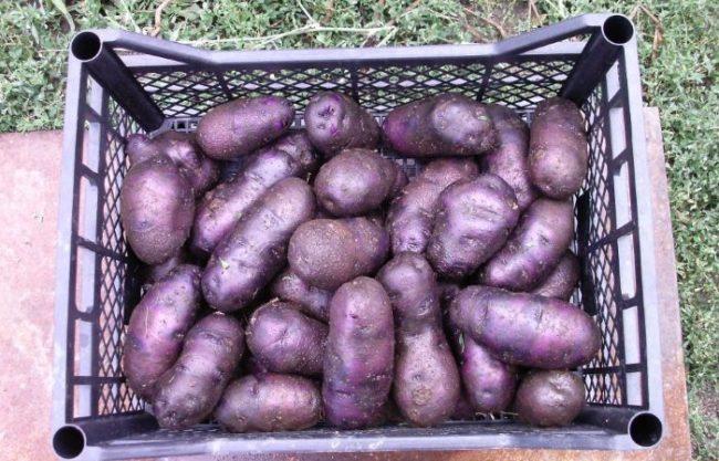 Пластиковый ящик с корнеплодами черного картофеля