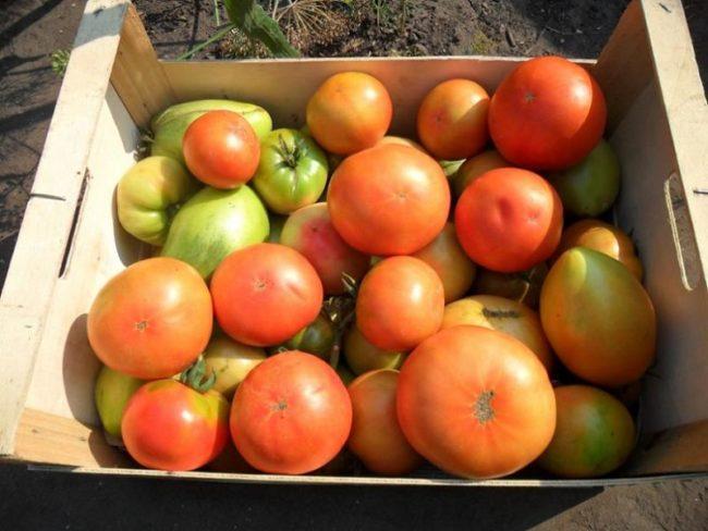 Деревянный ящик с плодами томатов, отобранных для дозревания