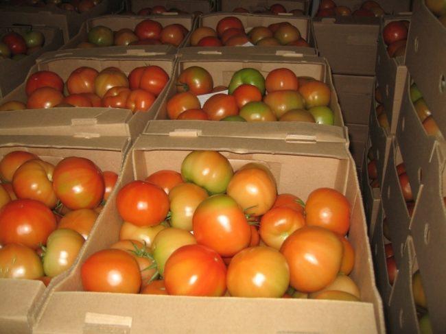 Картонные ящики с дозревающими помидорами светло-красного цвета