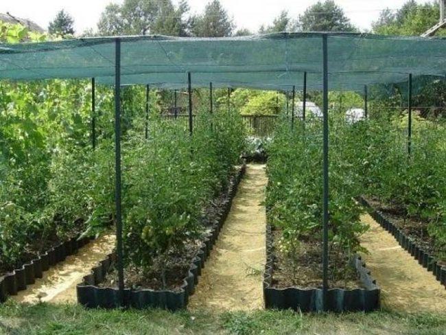 Затенение томатов с помощью натянутой на столбиках сетки