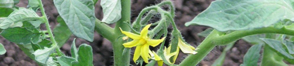 Цветок помидора завязался и засох