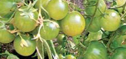 Зелёные помидоры Черри на кусту томатов