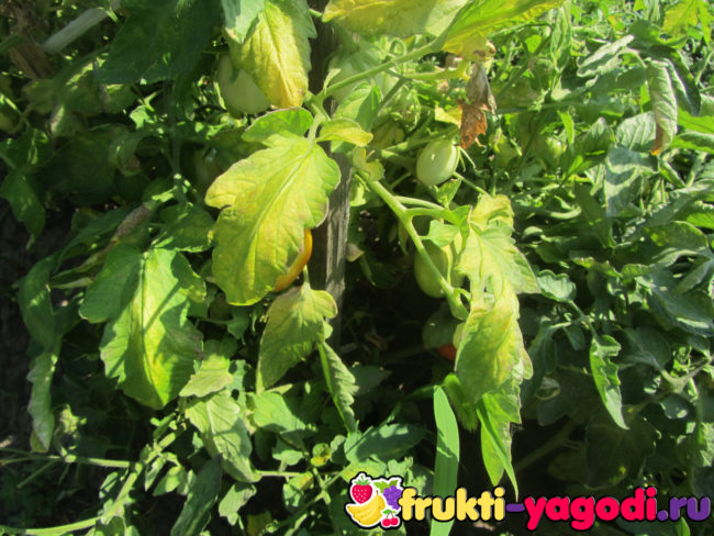 Зеленые, бурелые и спелый томаты на кусте помидора