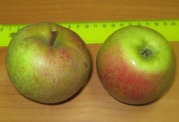 Зеленовато-красные плоды яблони сорта Краса Свердловская