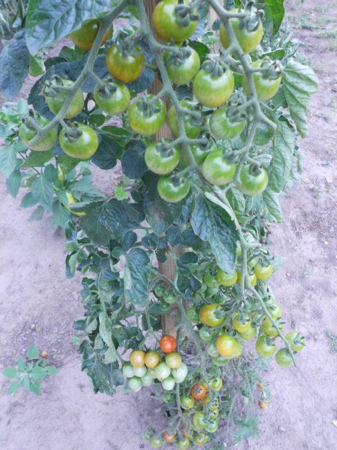 Грозди зеленых помидоров сорта Черри на деревянных опорах