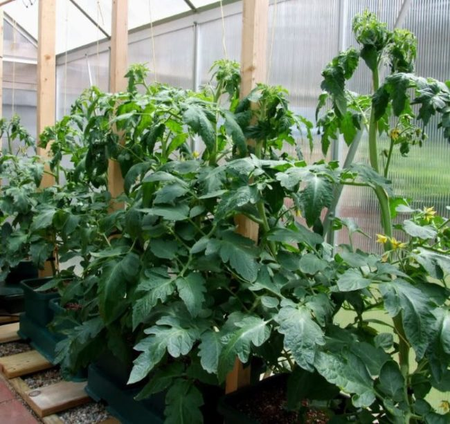 Жирующие кусты помидоры с крупными мясистыми листьями в условиях теплицы