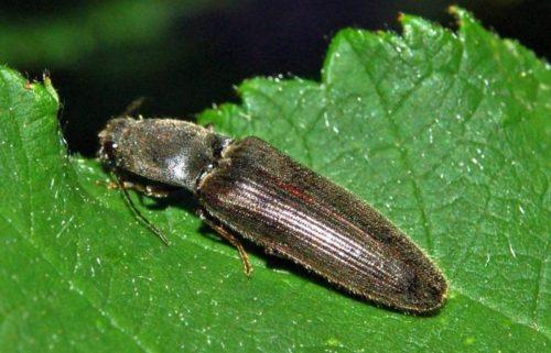 Внешний вид серо-черного жука-щелкуна, поедающего лист помидоры