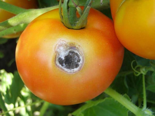 Плод томата с вдавленным черным пятном при поражении сухой пятнистостью