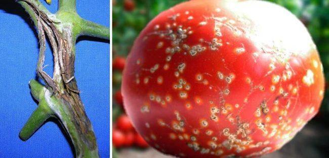 Симптомы поражения томатов открытого грунта бактериальным раком