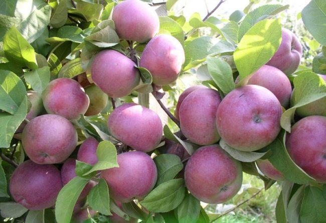 Крупные плоды бардового окраса на ветках яблони сорта Спартан от канадских селекционеров