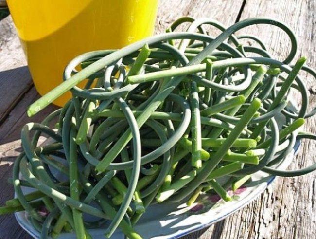 Зеленые стрелки чеснока для настоя против картофельной коровки