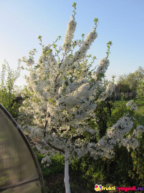 Яблоня цветёт вблизи и крона с новой побелкой