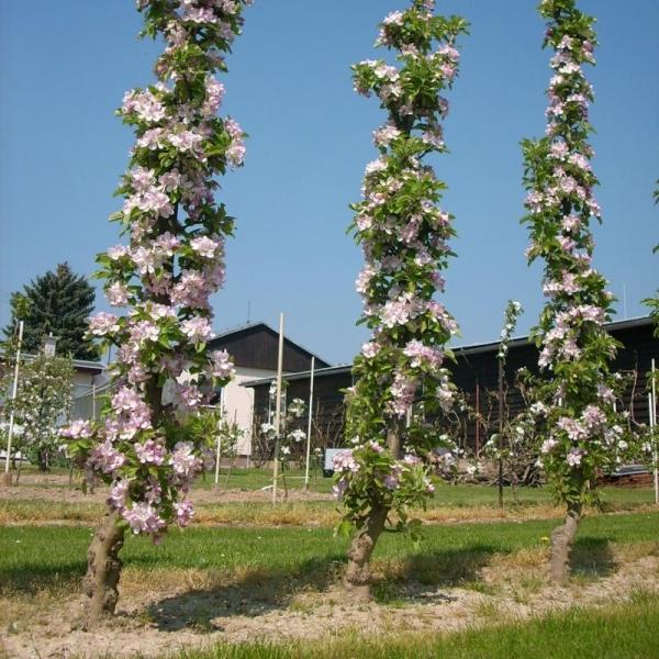 Три пирамидальные яблони в период весеннего цветения на дачном участке