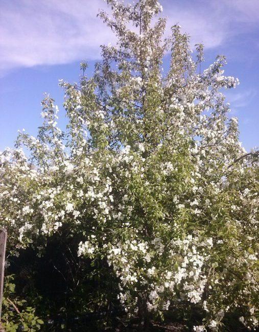 Обильное цветение взрослого дерева яблони сорта Уральское Наливное