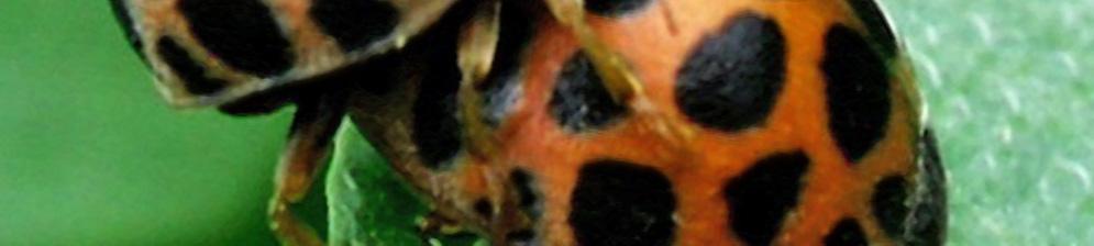 Две эпиляхны вблизи на зелёном листе