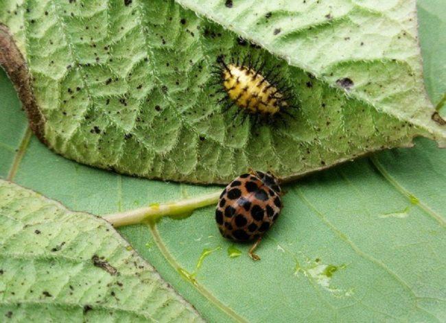 Внешний вид жука и куколки эпиляхны – распространенного вредителя картофеля на Дальнем Востоке