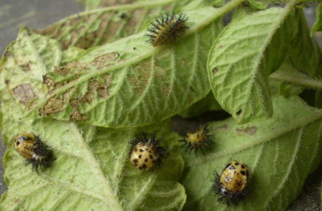 Эпиляхна в стадии куколки на листьях картофельной ботвы
