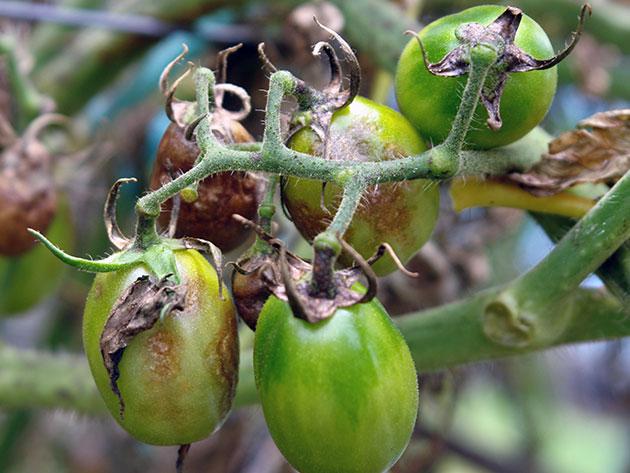 Небольшие зеленые помидоры с признаками поражения фитофторозом