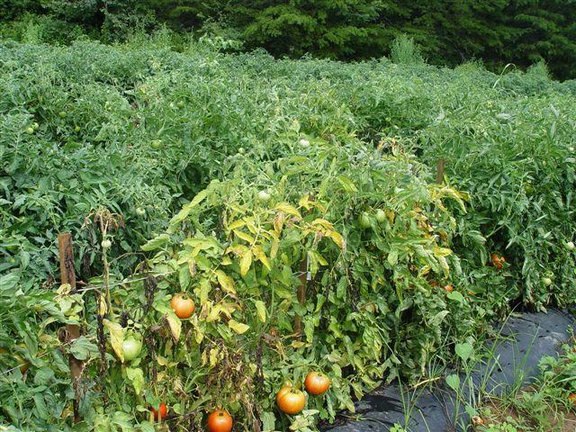 Очаг фузариозного увядания в посадках помидоры