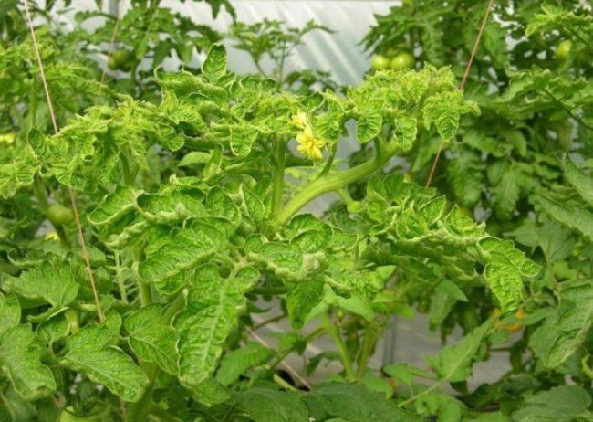 Макушка куста помидоры с признаками хлоротической курчавости