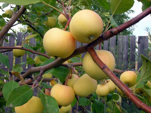 Ветки яблони с плода желтоватого окраса с небольшим румянцем