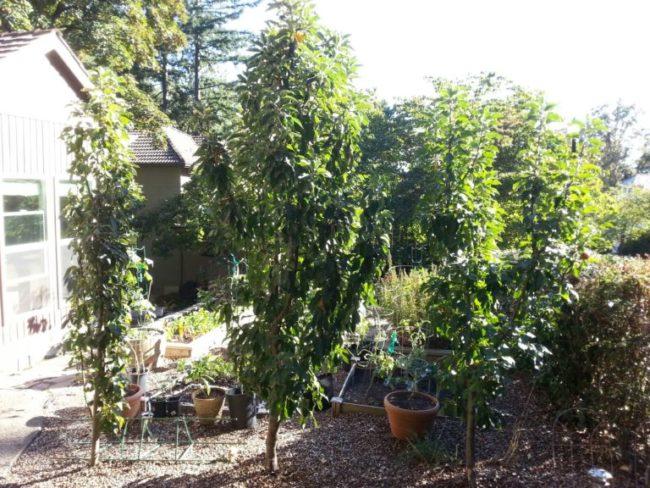 Пирамидальные яблони на территории частного садового участка