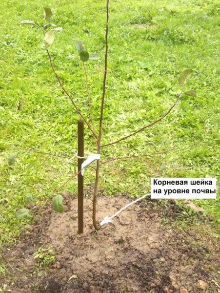 Правильное расположение корневой шейки саженца при посадке яблони