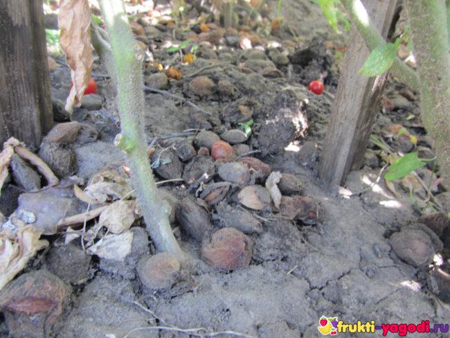 Куст помидор снизу корни не видно