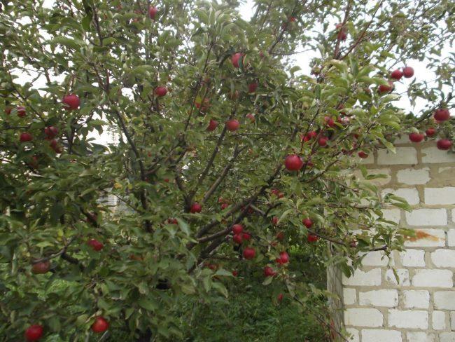 Взрослое дерево яблони сорта Спартан, растущее возле кирпичного гаража