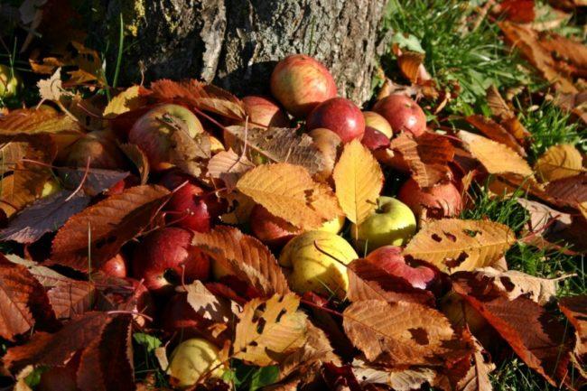Желтые, бардовые листья и опавшие яблоки под стволом старого дерева