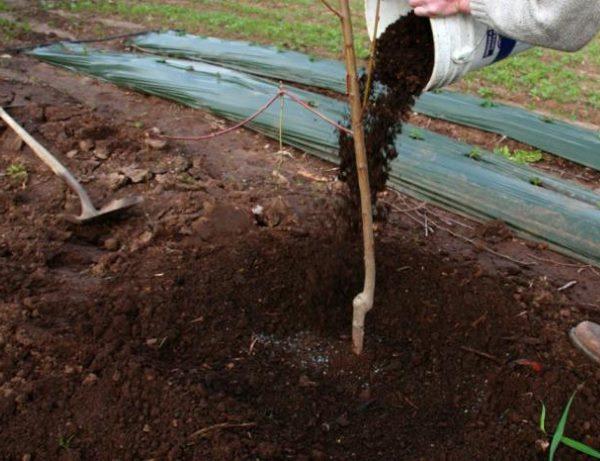 Мульчирование молодой яблони хорошо перепревшим компостом